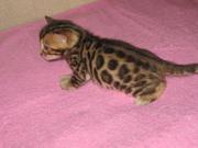 Бенгальские   котята.бенгал