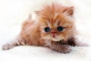 Персидский котенок экстримального типа