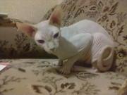 котик сфинкс