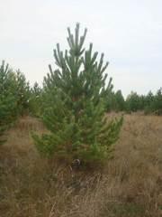Оптовая продажа новогодних елок (сосна)