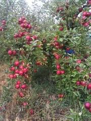 Продам яблоки,  айдарет,  от 1 ,  яблоки хорошие,