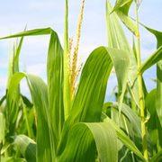Продам кукурузу по Виннице