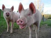 Продаэмо свинину