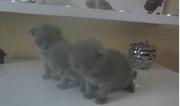 Шотландские котята - вислоушки