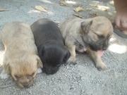 Отдаются в добрые руки щенки маленькой собаки - бесплатно