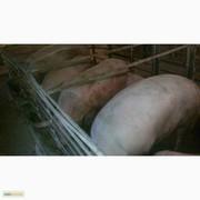 Продам поросят живым весом 100-130 кг