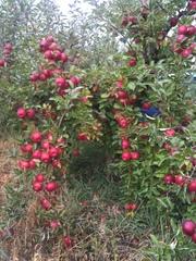 продам яблоки из сада