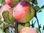 Продам осеннее яблоко Монтуанское