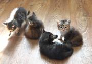 Віддам кошенят безкоштовно в добрі руки.Кошенята півтора місяці. грайливі и ласкаві.