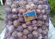 Продам Семена чеснока (воздушка) ,  Однозубка чеснока ,  Зубок чеснока