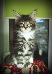 Мейн-кун,  котята чистокровные,  тигровые