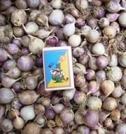 ОДНОЗУБКА (однодоля,  однозубок) элитные семена чеснока «Софиевский» со